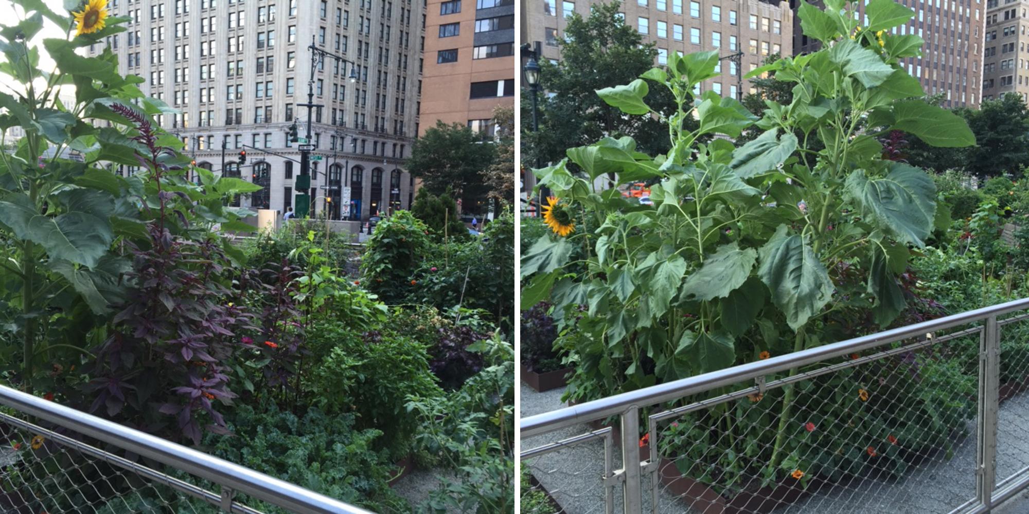 NY garden 8-2-2016
