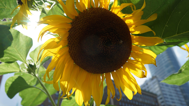 sunflower bee 2016
