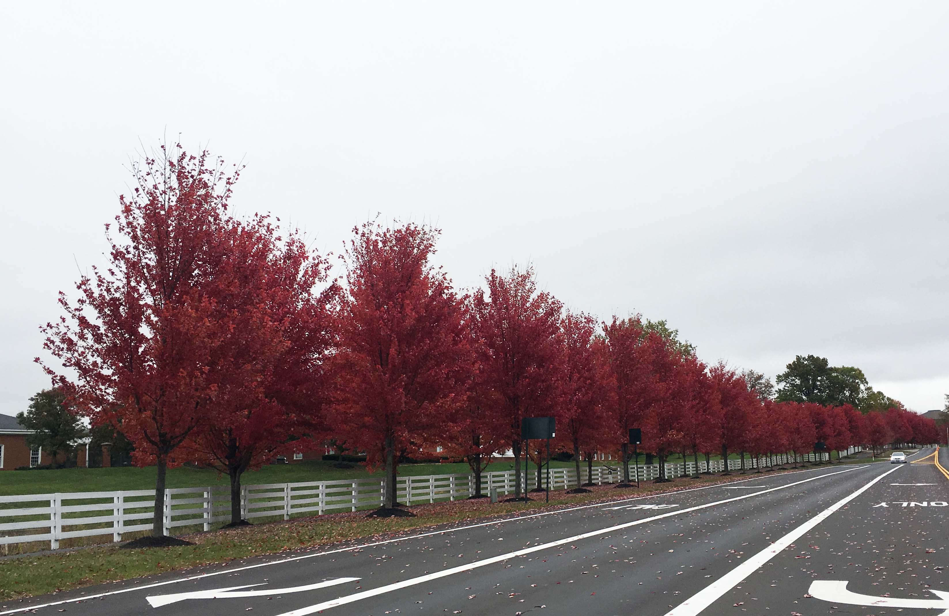 red-maples-in-new-albany-2016